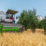 Cruzcampo recoge la cuarta cosecha de cebada cultivada entre olivos